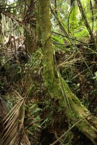 tree maiden NZ